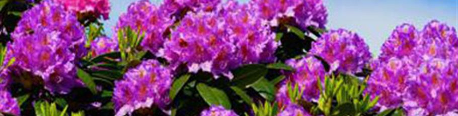 Flower-shrubs-news