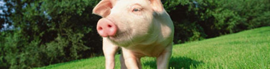 shrink-Lawn-pig