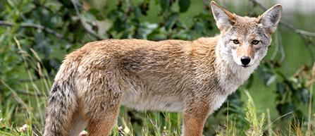 Coyote - Web